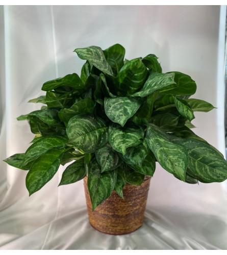Plant Aglaonema