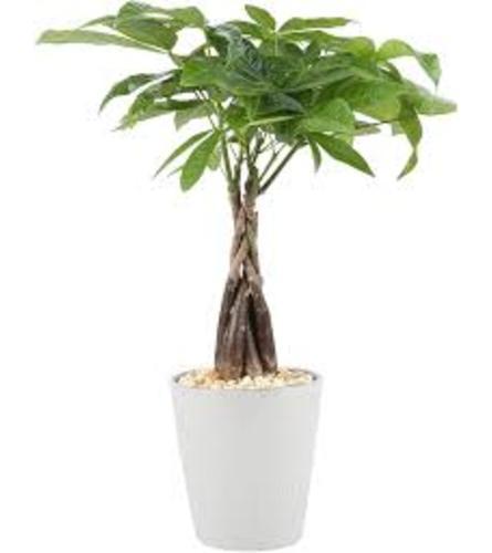 Money Tree (Guiana Chestnut)