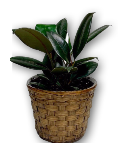 Vibrant Palm Rubber Plant in Wicker Basket