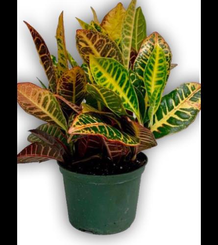 Fresh Green Spring Croton Plant In Green Pot