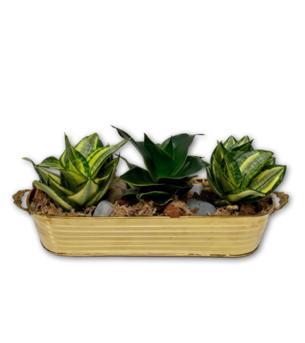 Wild Snake Plant Trio in Brass Basket