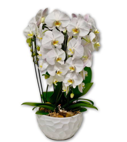 White Orchids In Ceramic Pot