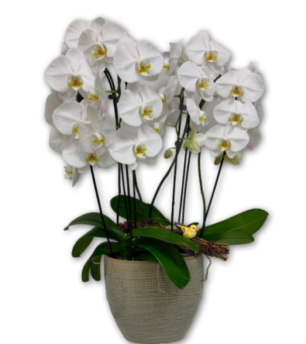 Elegant Pearl Orchids in Ceramic Pot