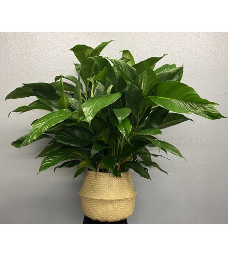 "10"" Spathiphyllum Plant"