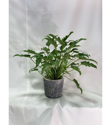 "6"" Xanadu Plant"