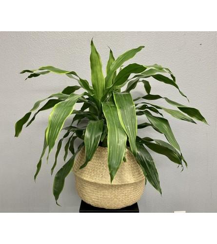 "Carmen Dracaena Plant - 8"""
