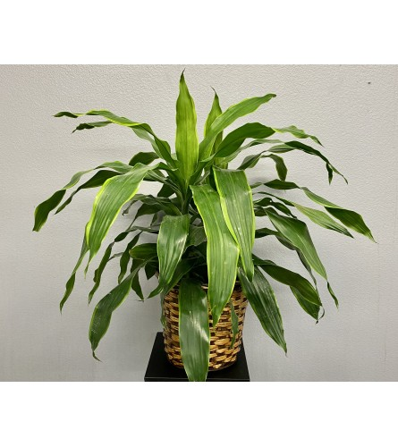 Carmen Dracaena Plant