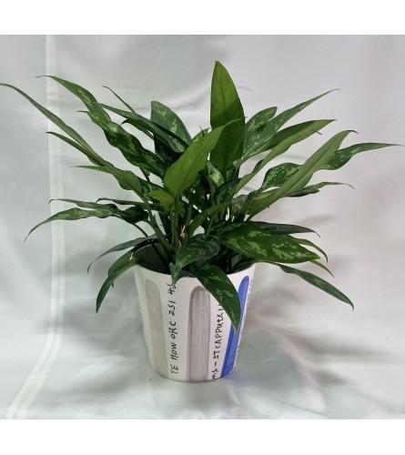 "Aglaonema Plant - 6"""