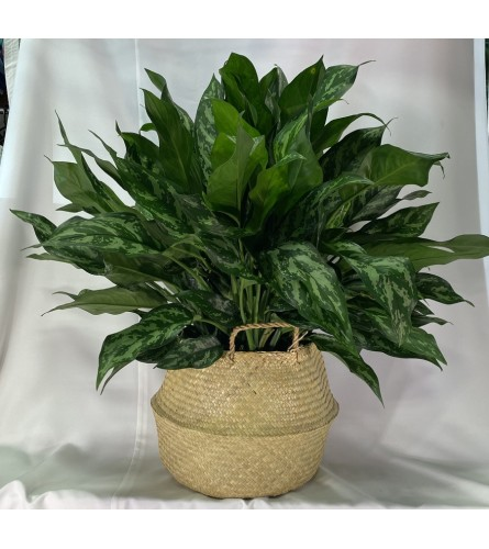 "Aglaonema - 8"" Emerald Beauty"