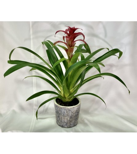 Bromeliad Plant - Red