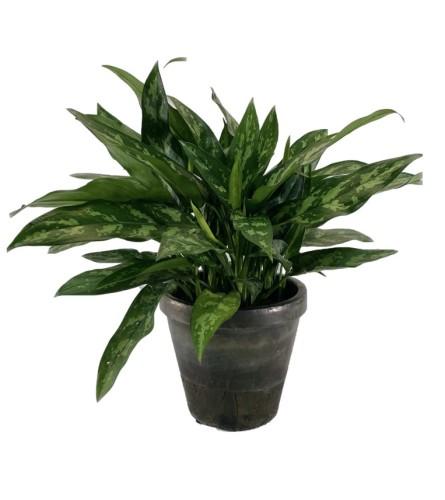 Emerald Beauty Plant