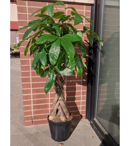 Large Money Tree (1 gallon)