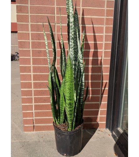Large Snake Plant (1 Gallon)