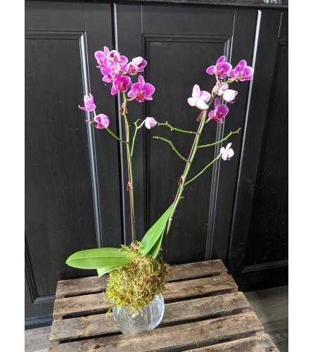 Mini Phalaenopsis Orchid Kokedama
