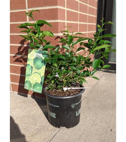 Lime/Lemon Tree (8 Inch)