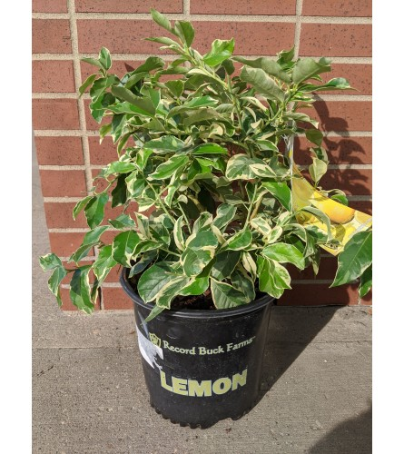 Pink Lemon Tree (1 Gallon)