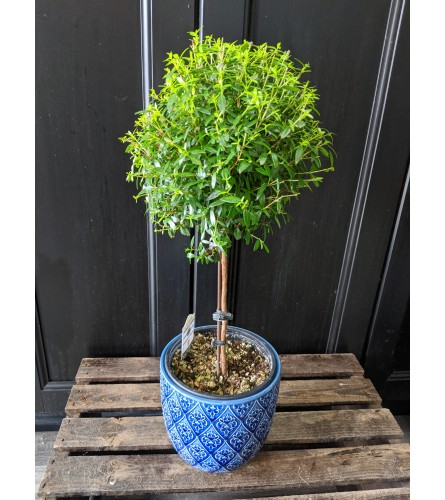 """4"""" Potted Myrtle Topiary"""