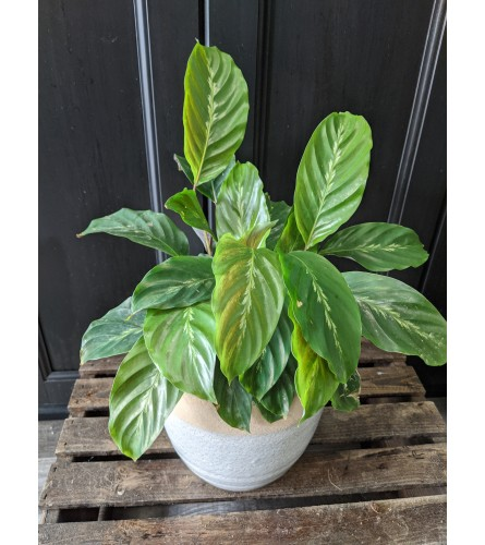 "6"" Potted Assorted Prayer Plant"