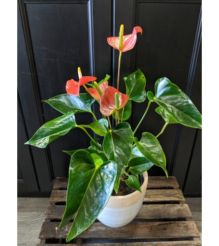 "6"" Potted Anthurium"