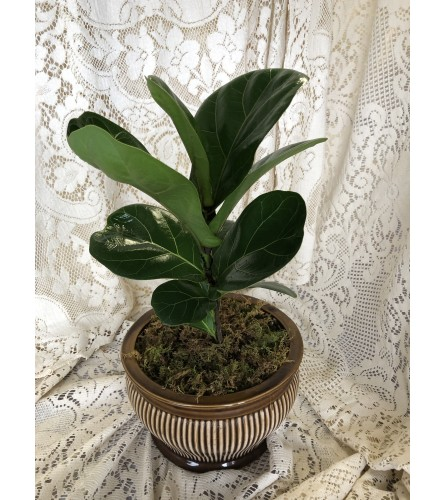 Fiddle Leaf Fig Fall Special - Small