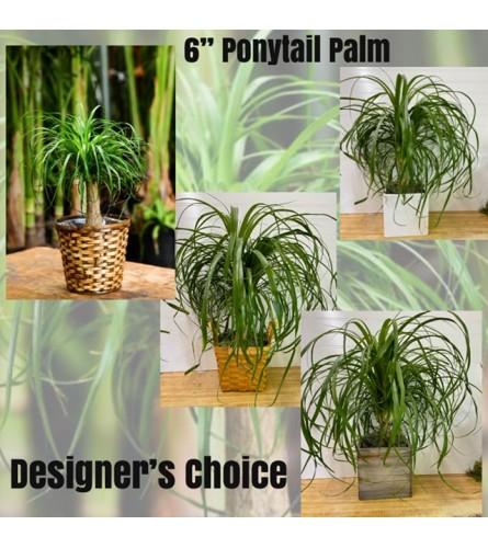 "Pony Tail Palm-6 "" Pot"