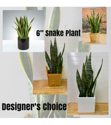 "Sanseveria (Snake Plant)-6"" Pot"