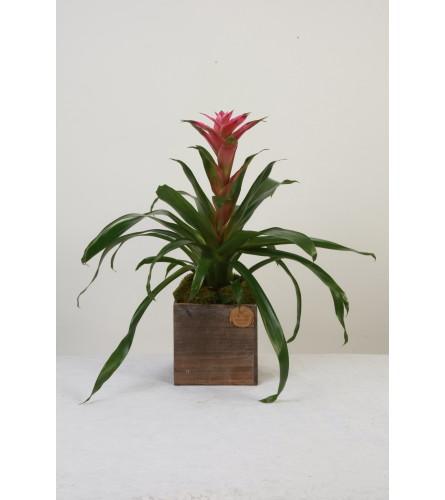Bromeliad Plant in Rustic Box