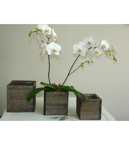 Classic Orchid in a Barnwood Box
