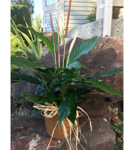 "Spathiphyllum Plant 6"""