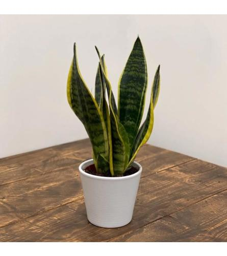 Sansevieria in a Ceramic Pot