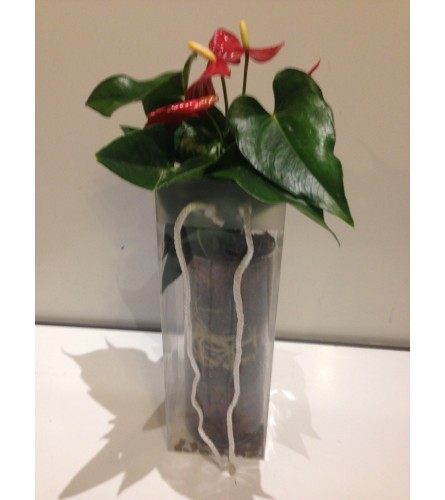 antherium in a vase with gift bag