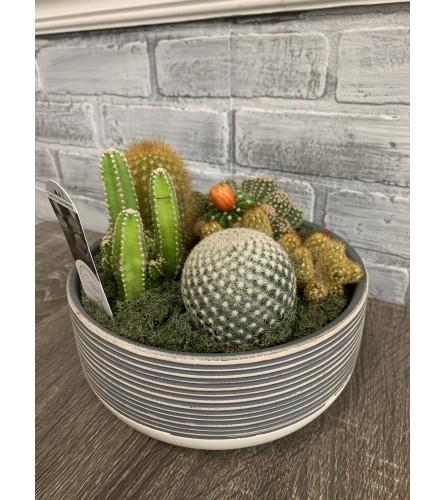 Cactus Garden in Ceramic Container