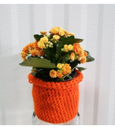 "Sweater Weather 4"" Kalanchoe"