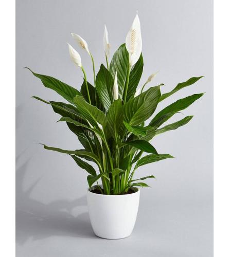 """6"""" Peace Lily Plant"""