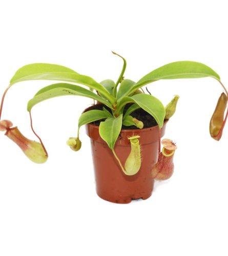 "3.5"" Pitcher Plant"