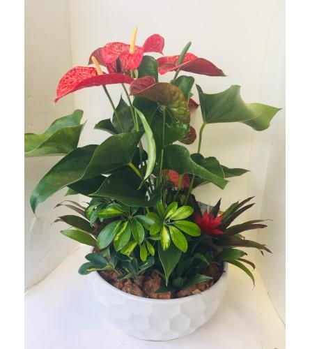 Anthurium  Tropical Garden