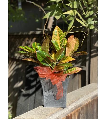 Croton plant dressed up
