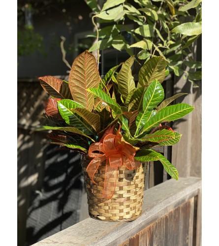Croton plant dressed in basket