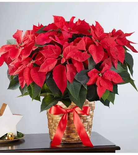 Red Glam Poinsettia
