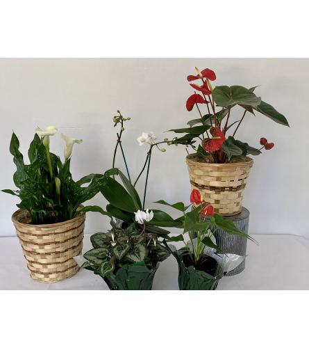Shop Blooming Plant