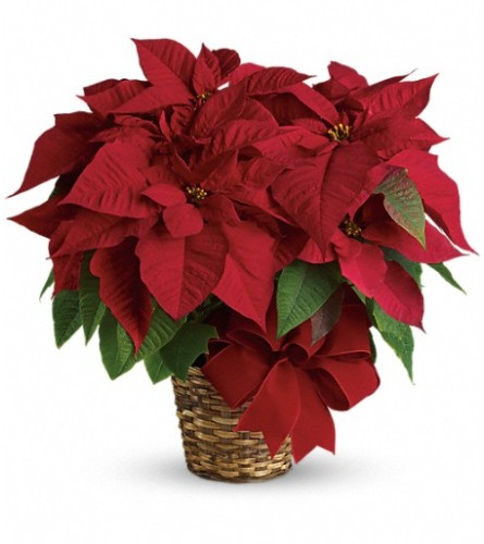 Red Poinsettia by Teleflora