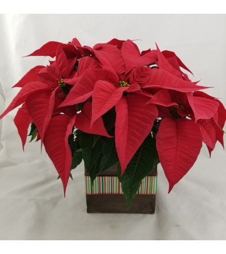 Traditional Red Poinsettia
