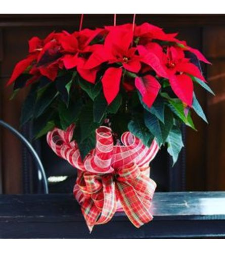 Poinsettia for the Holidays