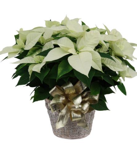 Christmas Poinsettia White