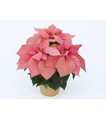 Christmas Poinsettia Pink