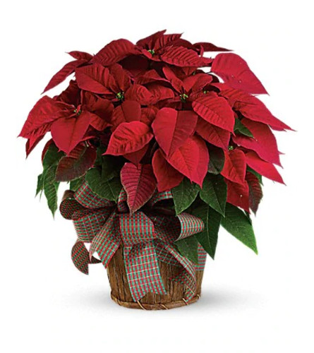 "Large 10""  Red Poinsettia"