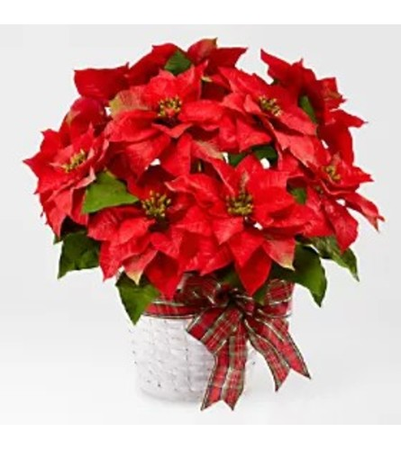 Red Glam Poinsettia in White