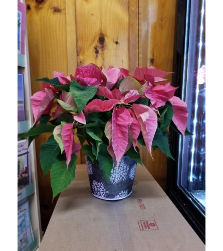 "6"" Pretty in Pink Poinsettia"