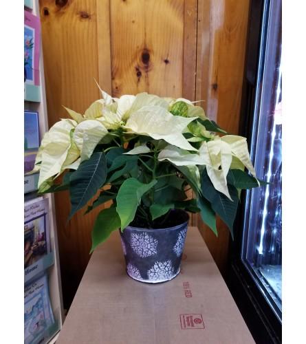 """6"""" Snow White Poinsettia Plant"""