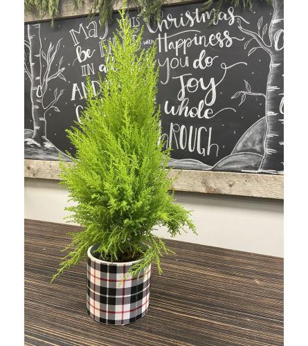 Holiday Cypress Tree